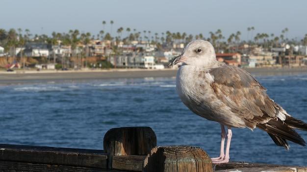Mouette sur les balustrades de la jetée en bois. gros plan d'oiseau à oceanside. californie. maisons en bord de mer.