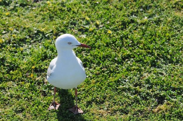 Mouette blanche dans le parc à sydney en australie