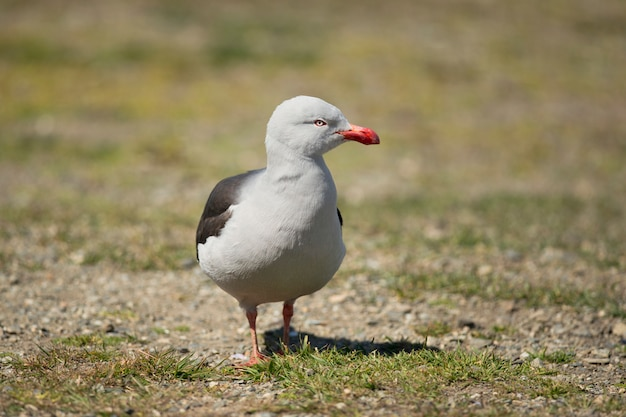 Mouette dauphin