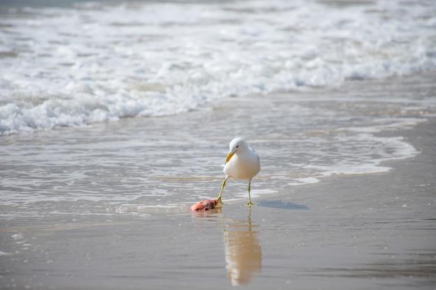 Mouette mangeant du poisson sur la plage de jurerê internacional florianópolis