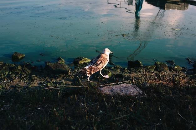 Mouette marchant sur la plage de la rivière avec pied palmé vers le haut, reflet dans l'eau et rochers moussus