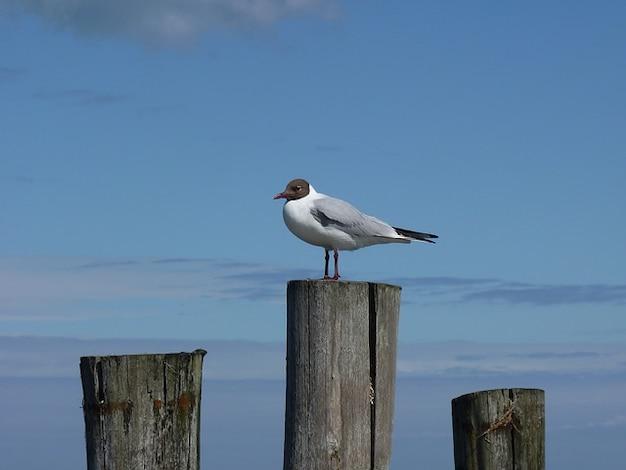 Mouette mouette zingst dar mer baltique oiseaux