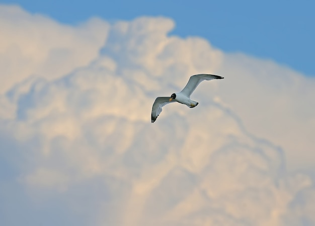 Une mouette de pallas ou grande mouette rieuse (ichthyaetus ichthyaetus) et nuage flou géant