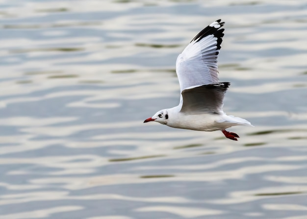 La mouette rieuse survolant l'eau en hiver, bang pu recreation center, thaïlande