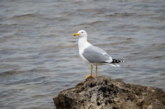 Une mouette solitaire est assise sur un rocher sur fond de gros plan sur la mer. habitants marins. oiseau bruyant.