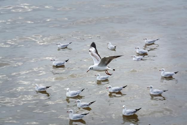 Mouette survolant un troupeau de mouettes flottantes