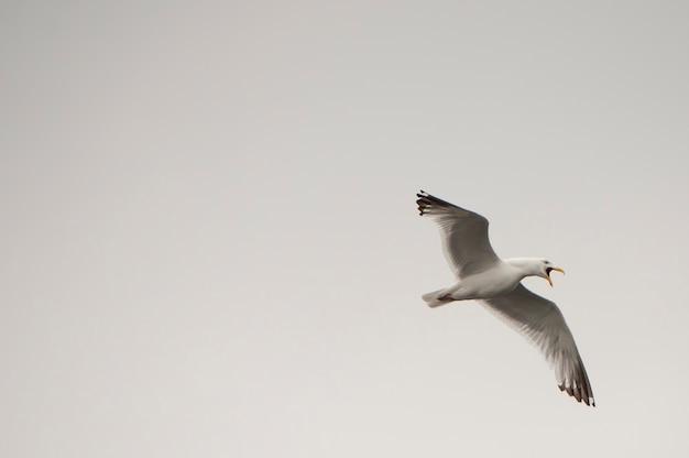 Mouette en vol au-dessus du lac des bois, ontario