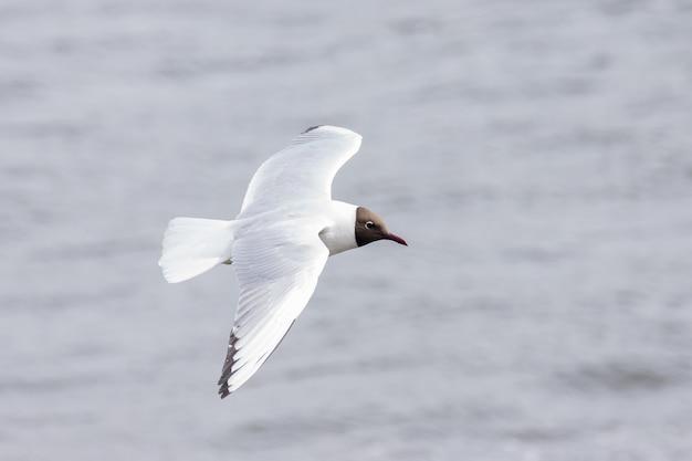 Mouette volant au dessus de l'eau