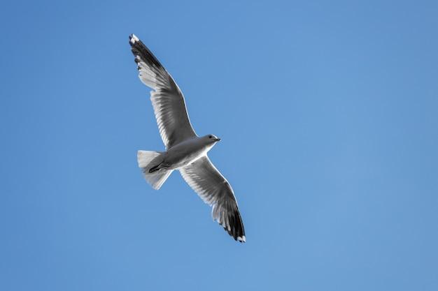 Mouette volante dans le ciel bleu. oiseau aux ailes déployées. vue de dessous. photo de haute qualité