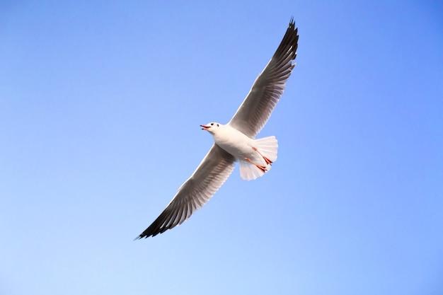 La mouette vole dans le ciel bleu. c'est un oiseau de mer, généralement gris et blanc. il prend de la nourriture vivante (crabes et petits poissons).