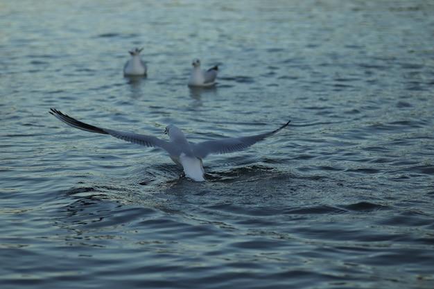 Les mouettes sur le lac demandent de la nourriture par une journée ensoleillée les mouettes jouent dans l'eau