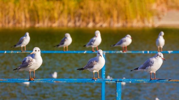 Les mouettes s'assoient sur la balustrade de la clôture près du lac