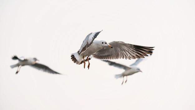 Les mouettes volent dans le ciel à bang pu, samut prakan, thaïlande. groupe d'oiseaux volant isolé sur fond blanc.