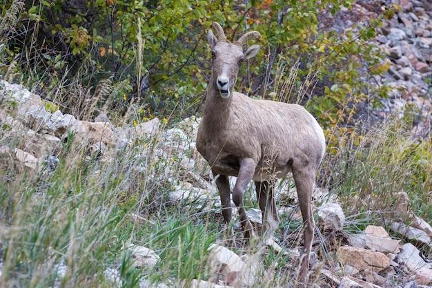 Le mouflon d'amérique (ovis canadensis) sur une colline rocheuse dans le wyoming