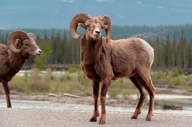 Mouflon d'amérique (ovis canadensis), parc national de jasper, alberta, canada