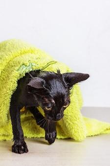 Mouillé après le bain chaton noir triste dans une serviette verte close up