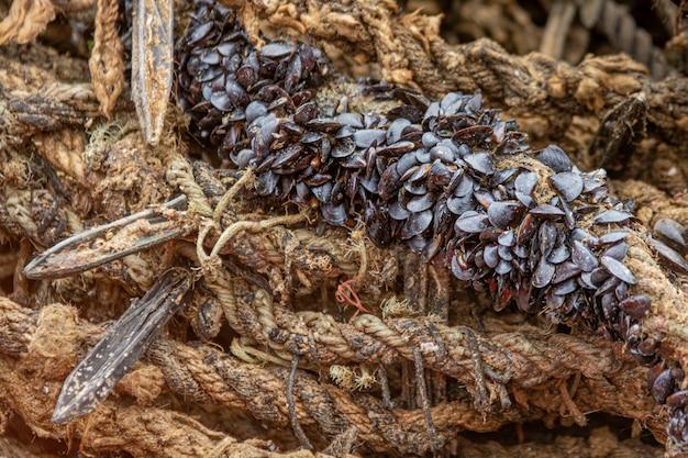 Moules sur corde d'herbe en sparte