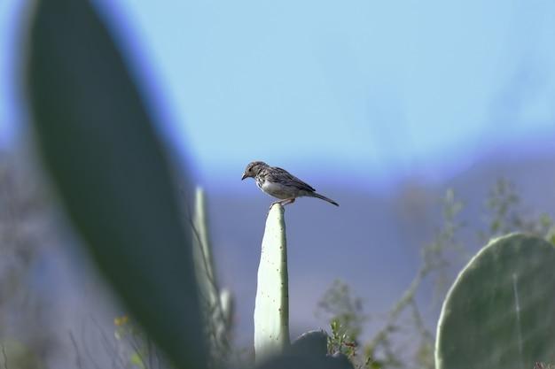 Mourning sierra finch
