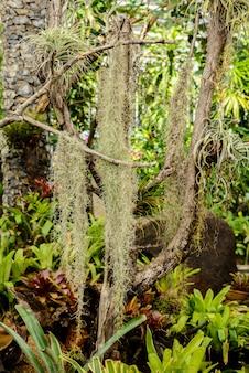 Mousse espagnole ou tillandsia usneoides adapté aux plantes sans terre et accroché au bois