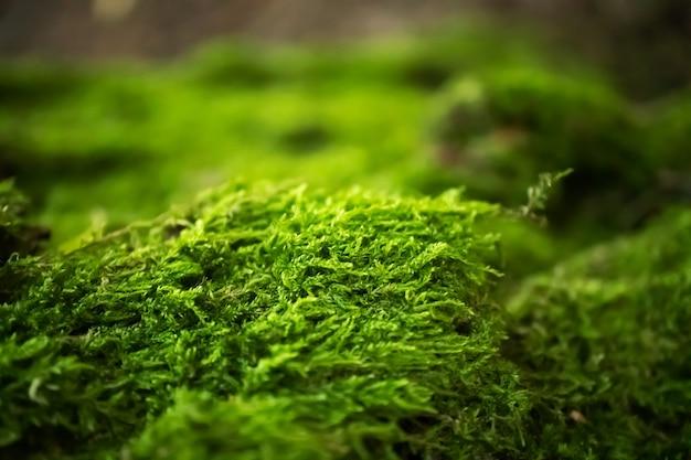 Mousse en forêt avec mise au point sélective. fond d'écran nature horizontale. texture verte naturelle macro