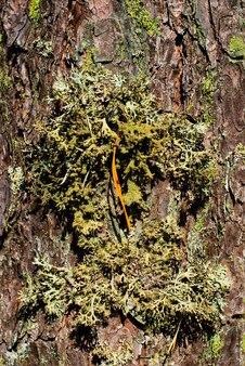 La mousse pousse sur l'écorce d'un arbre forestier l'écorce est recouverte de mousse