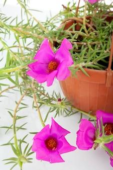 Mousse rose portulaca grandiflora