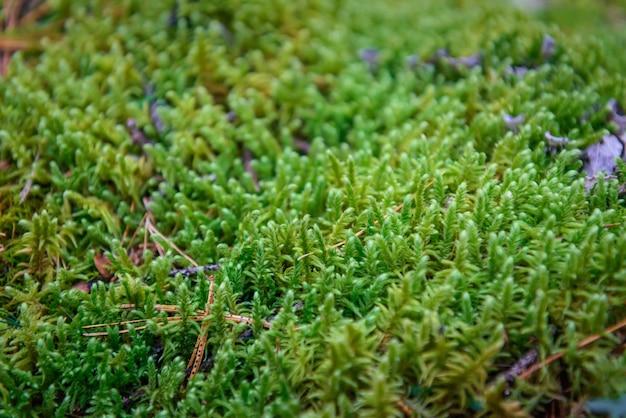 Mousse verte humide, gros plan, mise au point sélective, fond de plante naturelle.
