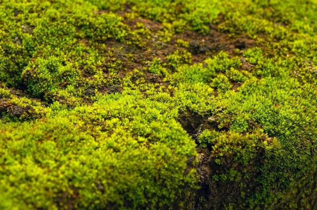 Mousse verte sur la pierre dans un foyer peu profond pour le papier peint