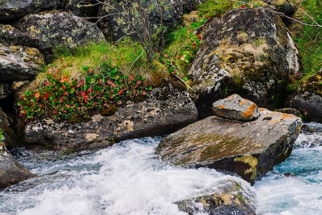 Mousses et lichens et végétation luxuriante sur des pierres et des rochers près du ruisseau de montagne. jet d'eau de montagne rapide. feuilles multicolores. plantes pittoresques des hauts plateaux. flore incroyable dans le désert.