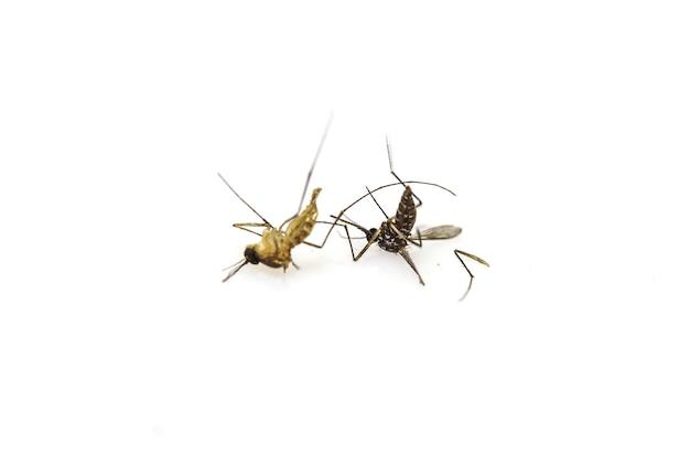 Moustique mort se coucher sur fond blanc se bouchent