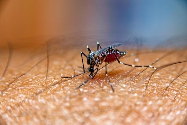Moustique suçant le sang sur la peau humaine