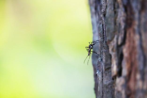 Moustiques perchés sur les arbres il est porteur de nombreuses maladies comme le paludisme, la dengue, l'éléphantiasis