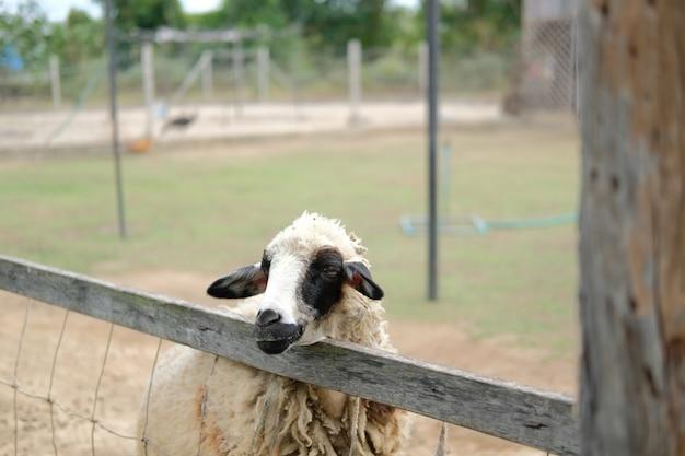 Mouton bélier brebis bétail dans les terres agricoles