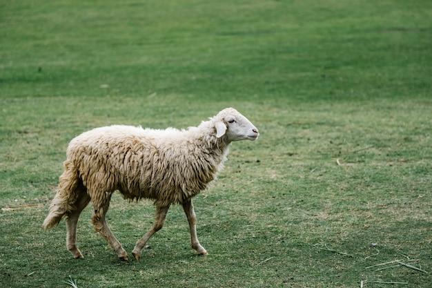 Mouton blanc dans le parc