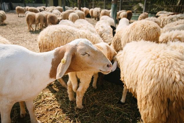 Mouton, dans, campagne, ferme