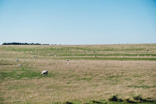 Mouton dans le champ d'herbe