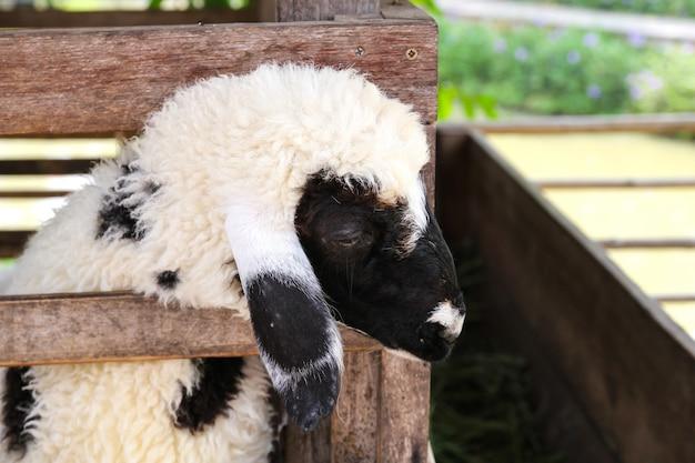Mouton dans une ferme, thaïlande.