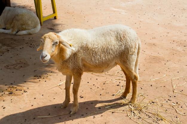 Mouton dans ferme