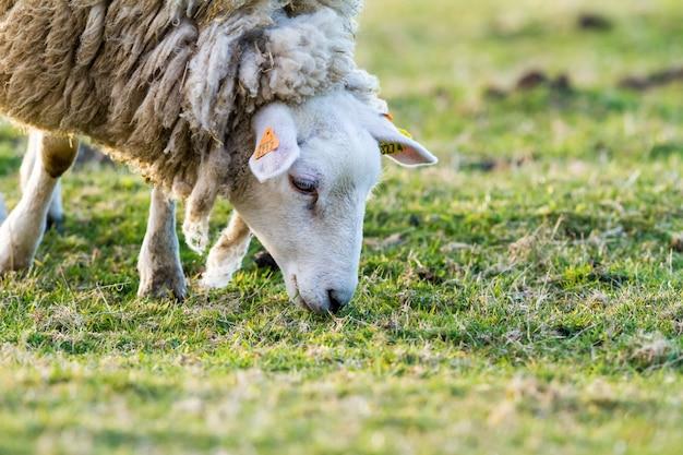 Mouton dans le pré