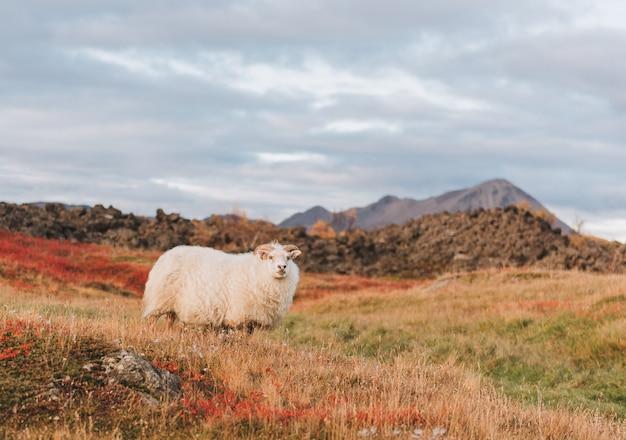 Mouton islandais dans un pâturage en islande avec une montagne