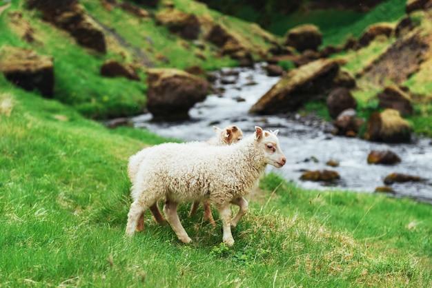 Le mouton islandais. vue fantastique sur la cascade du parc national