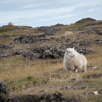Mouton laineux sur un terrain rocheux