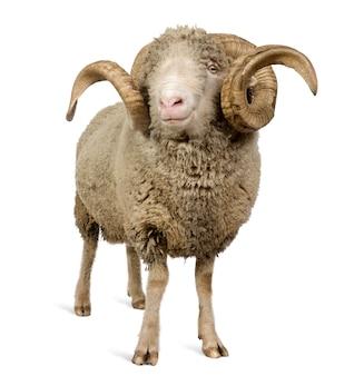 Mouton mérinos d'arles, bélier, debout