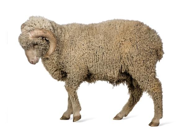 Mouton mérinos d'arles (bélier)