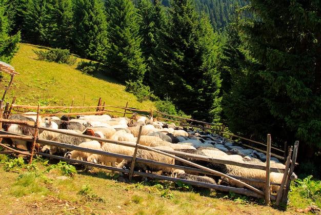Mouton de montagne en tenant un stylo sur une journée ensoleillée, les carpates
