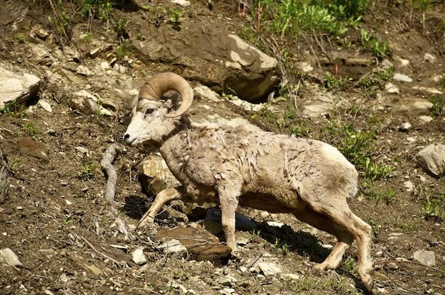 Mouton de montana bighorn