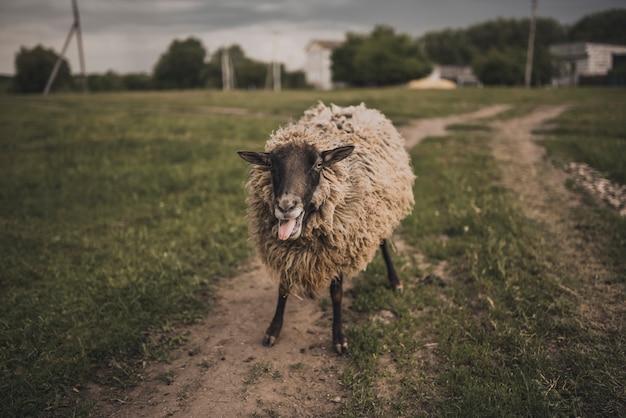 Un mouton montre la langue et regarde la caméra sur une pelouse verte