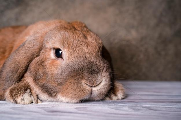 Le mouton nain de race lapin se trouve sur le parquet. fond texturé. le lapin roux regarde la caméra.