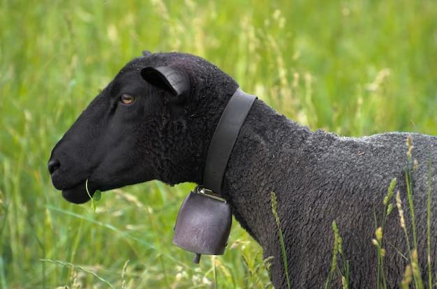 Mouton noir avec une cloche