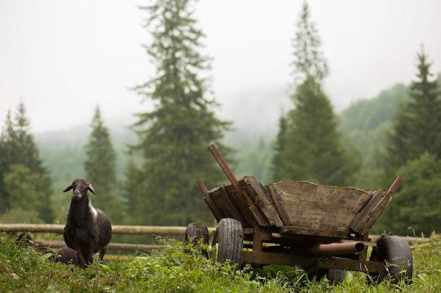 Mouton noir en milieu rural à la lumière du jour